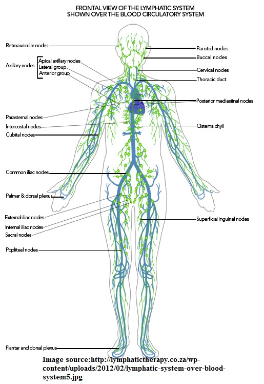 What Is The Lymphatic System Yogabypia
